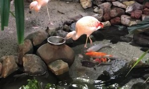 Flamingos Feed Fish