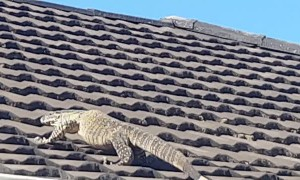 Monitor Lizard Walks on Roof