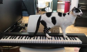This cat sings a song while playing a tune on the piano