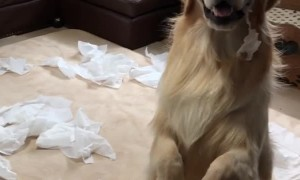 Golden Retrievers Cause Tissue Catastrophe