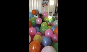 Cooper the dog has the time of his life playing in room filled with balloons