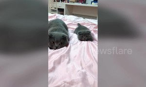 Cute kitten is a perfect mimic of his father