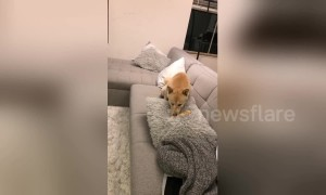 Cute dog tries to bury bone in cushion