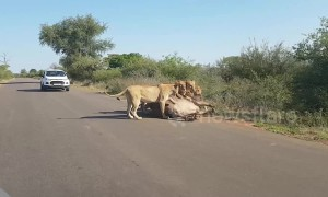 Four lions take down massive buffalo in middle of road