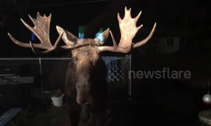 Moose on the loose! US couple greeted by massive deer in backyard