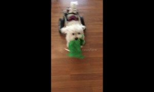 Disabled dog playing fetch won't let his wheelchair slow him down