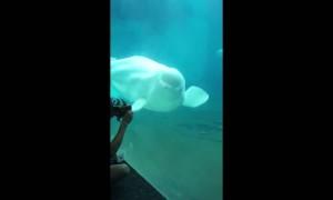 Beluga Whale dances along to music box