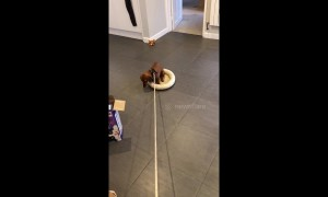 Sausage dog refuses to leave bed at walk time