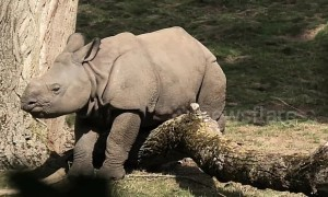 Baby rhino pretends to be stuck to get his mum's attention