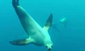 Sea Lion attempts to bite diver off California coast