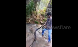 Snake expert removes massive king cobra from village stream