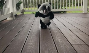 Boston Terrier Rocks Panda Costume
