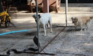 Two pet dogs spark chaos after chasing king cobra in front yard