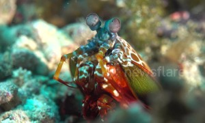 What an eyeful! This mantis shrimp has the best vision in the known world