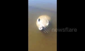 Baby manatee enjoys the sun floating belly-up near Florida beach
