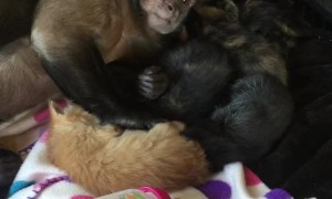 Capuchin Monkey and His Kitten Family
