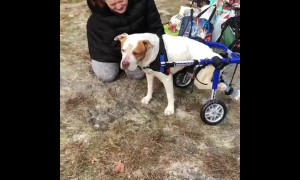 Rescue pup tries out doggy wheelchair for the first time
