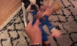 Dog savagely destroys Donald Trump chew toy