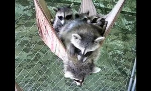 Raccoons take group nap on a hammock