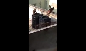 Cheeky monkeys take a dip inside city residence water tank in northern India