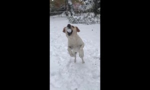 Sunshine the puppy loves to catch snowballs