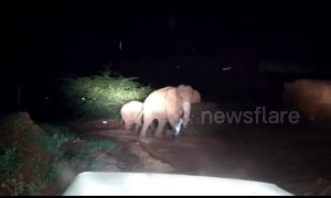 Indian officials chase drug-addicted elephants