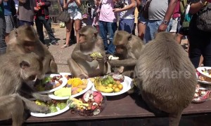 Monkeys have birthday picnic in Thai town