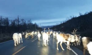Santa's Reindeer on the Loose