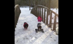 Dachshund through the snow! Heartwarming clip shows disabled dog using skis
