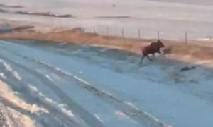 Moose Flips over Fence
