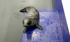 Seal pup, named Brian May, recovering after ingesting a plastic bag