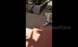 Dog is endlessly amused by owner's shadow hand puppets