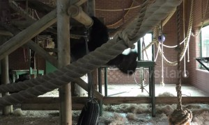 This gorilla can perform more pull-ups than you