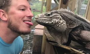 Feeding Giant Iguana from Your Tongue