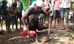 Thirsty king cobra gets drink of water after being rescued from fishnet