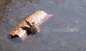 Keep rollin' rollin' rollin': turtle can't get out of water