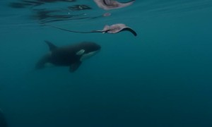 Incredible moment when killer whale hits stingray with its fin