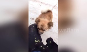 Dog helps its friend pick spiny plants off his body