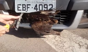This Hawk Has 9 Lives
