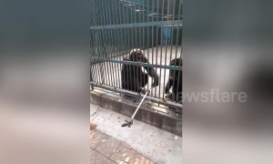 Zoo chimpanzee returns selfie stick stolen by its companion to tourist