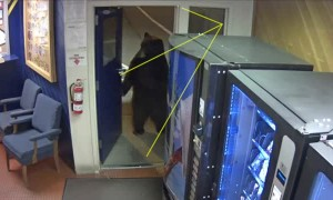 Bear casually walks into California Highway Patrol office
