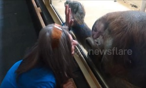 Orangutan can't stop kissing woman at Colorado zoo