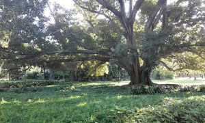 86 Year Old Fig Tree Cracks and Collapses