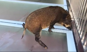 Wild boar gets scared after straying onto slippery glass walkway