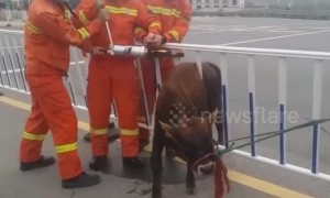 Scared calf gets stuck in railing on Chinese motorway