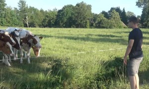 """Cattle herd incredibly flocks to man's odd """"cow call"""""""