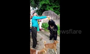 Wild bear loves to guzzle mango soft drink at Indian temple