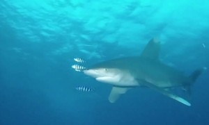 Diver has scary encounter with shark in the Red Sea