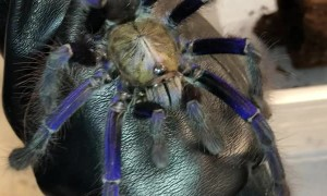 Jaw Dropping Singapore Blue Tarantula