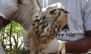 Touching moment wild owl flies back to freedom after accident in India